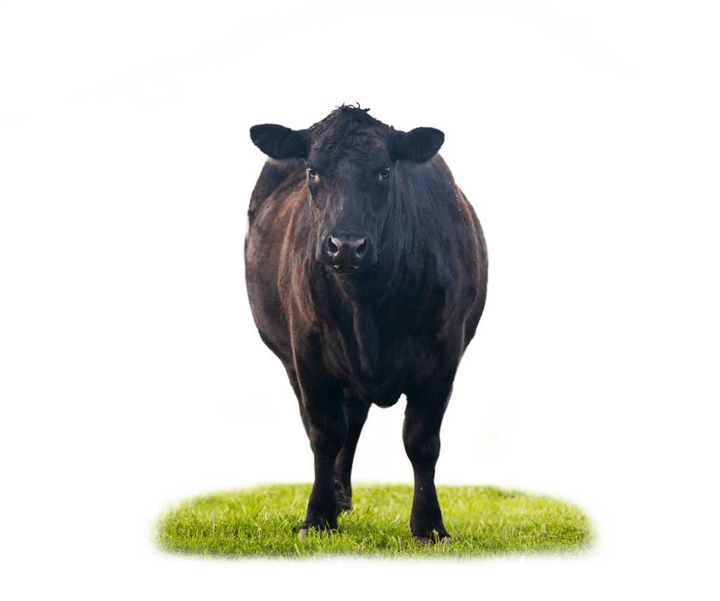 cow-in-pasture